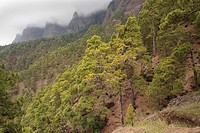 Walls towers with tipical fog and forest of Canary islands pine, Caldera de Taburiente National Park, Biosphere Reserve, ZEPA, LIC, La Palma, Canary I...