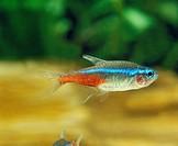 Neon Tetra, paracheirodon innesi, Aquarium Fish