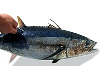 Mediterranean tuna fish mark and release