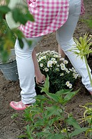 Woman planting Marguerite