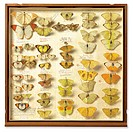 Banks insect collection, 18th century. Drawer of mounted and labelled specimens of Lepidoptera butterflies and moths, part of the insect collection of...