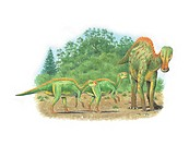 Gryposaurus adult dinosaur and young. This dinosaur lived in Alberta Canada during the Campanian stage of the late cretaceous period.