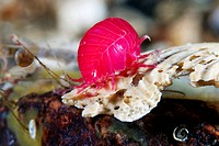 Amphipod Acanthonotozoma inflatum, pink. This crustacean is mainly found in the North_West Atlantic Ocean. Amphipods typically have a laterally flatte...