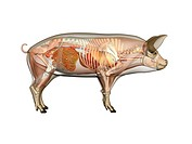 Pig anatomy. Computer artwork showing the internal anatomy of a domesticated pig Sus scrofa domestica. Anatomical features shown here include the skel...