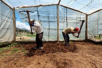 School farm. Workers digging inside a greenhouse at a boy´s school, Cusco, Peru.