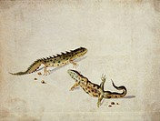 Salamanders. Illustration from ´298 water_colour drawings of insects and larva´ by C. Flegel 1622.