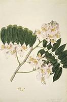 Pink cassia Cassia nodosa, artwork.