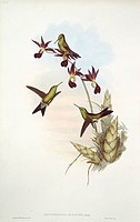 Hummingbirds. Illustration from from ´A Monograph of the Trochilid, or Family of Hummingbirds´, by John Gould 1861.