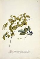 Blackberry Rubus cuneifolius. Artwork by Georg Dionysius Ehret.