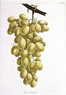 Grapes Vitis sp.. This artwork is plate 65 ´Muscat d´Alexandrie grapes´ from ´Le Jardin Fruitier´ 1821 by the French botanist Louis Claude Noisette 17...