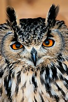 Bengalese eagle owl Bubo bengalensis female. This bird is found throughout the mainland Indian sub_continent. It inhabits rocky hills, arid areas, and...