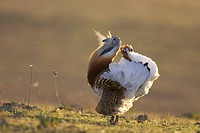 Great Bustard Otis tarda adult male, displaying, Extremadura, Spain