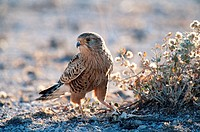 Greater Kestrel Falco rupicoloides, sitting on the ground with Agama as prey, Etosha National Park, Namibia