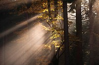 Bayerischer Wald, Bavarian Forest, foggy forest, sunrays between beeches and spruces, autumn colours, Bavaria, Germany