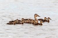 Mallard Duck Anas platyrhynchos adult female with ducklings, swimming, Norfolk, England, july