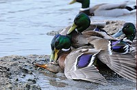 Mallard Duck Anas platyrhynchos adult males, group attempting to mate with female on bank, Slimbridge, Gloucestershire, England
