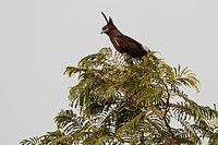 Long_crested Eagle Lophaetus occipitalis adult, perched in tree, Gambia, january