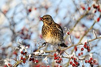 Fieldfare Turdus pilaris adult, feeding on hawthorn berries in frost, Midlands, England, december