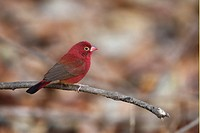 Red_billed Firefinch Lagonosticta senegala adult male, perched on twig, Gambia, january