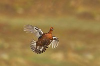 Red Grouse Lagopus lagopus scoticus adult male, in flight over moorland, Yorkshire Dales N P , Yorkshire, England
