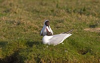 Black_headed Gull Larus ridibundus adult pair, summer plumage, interacting, Norfolk, England, march