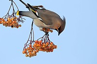 Bohemian Waxwing Bombycilla garrulus adult, feeding on rowan berries, West Midlands, England, december