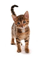 Domestic Cat, Bengal, brown spotted, kitten, standing