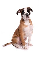 Domestic Dog, Staffordshire Bull Terrier x Boxer, puppy, sitting