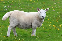 Great Britain, animal, beast, lamb, sheep, Scotland, pasture, willow, UK, eat