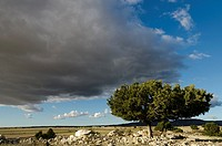 Juniperus thurifera trees isolated at Monegros landscape in Autumn  Saragosse, Aragon, Spain