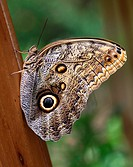 Owl Butterfly Caligo Eurilochus large big eye eyes butterflies