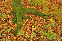 Mossy tree roots in the autumn woods, Franconia, Bavaria, Germany