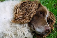 Springer Spaniel lying down on grass