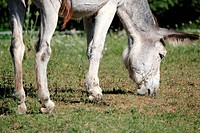 Grey donkey eating