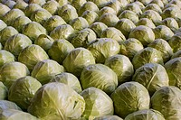 An Army of Cabbages