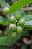 Carissa Carandas, Apocyanaceae, Ratnagiri, Maharashtra, India