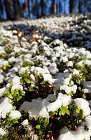 First snow covers lingonberry  Vaccinium vitis-idaea  shrubs at Autumn, LocationKirvesjärvi,Rokuanvaara,Rokua,Rokuan National Park, Rokuan kansallispu...