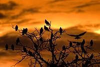 Botswana, Nxai Pan National Park. Black Kites Milvus migrans resting in tree at sunset