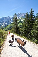 Woman and goat family on hiking trail in the Alps, Berchtesgaden, Germany