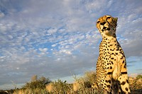 Namibia, Keetmanshoop, Captive Cheetah Acinonyx jubatas sitting on hilltop at sunset