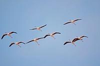 Namibia, Skeleton Coast Wilderness, Flock of Lesser Flamingoes Phoeniconaias minor in flight above Huab Lagoon along Atlantic Ocean