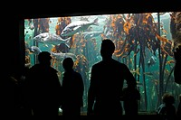 South Africa, Cape Town, Atlantic Ocean Fish swimming in Kelp Forest exhibit at Two Oceans Aquarium