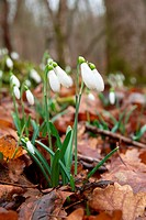 Spring flowers_ snowdrops.