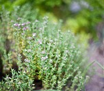 Garden herb common thyme growing in English garden, close_up