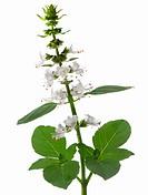 White flowering Basil Ocimum basilicum