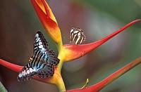 Blue Clipper butterfly Parthenos sylvia lilacinus, Penang, Malaysia