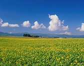 Flower Field of Yellow Mustard, Biei, Hokkaido, Japan