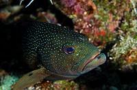 Coney Cephalopholis fulva, Bonaire, Netherlands Antilles, Caribbean
