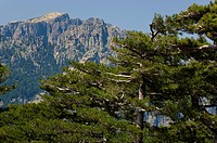 France, Corsica. Laricio pines Pinus laricio below Aiguilles de Bavella and massif of Monte Incudine. View from above Col de Bavella.