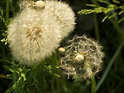 Italy, Mantova/Mantua, springtime, Common Dandelion, ripe fruits